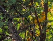 北美黄色林莺鸟库拉索岛景色 库存图片