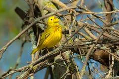 北美黄色林莺-刚毛虫类petechia 免版税图库摄影