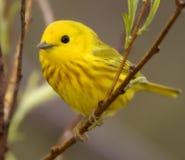 北美黄色林莺 免版税库存照片