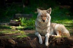 北美洲土狼(犬属latrans) 免版税库存照片