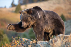 北美洲棕熊(北美灰熊) 库存照片