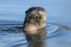 北美洲河中水獭游泳 免版税库存照片