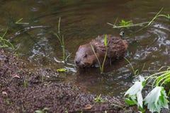 北美洲海狸成套工具铸工canadensis上升在池塘外面 库存图片
