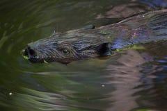 北美洲海狸铸工canadensis 图库摄影