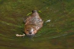 北美洲海狸(铸工canadensis)今后游泳 免版税库存图片