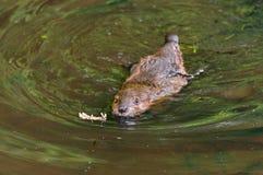 北美洲海狸(铸工canadensis)成套工具今后游泳 图库摄影