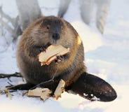 北美洲海狸 库存图片