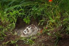 北美洲獾獾亚科类罗汗松咆哮  库存照片