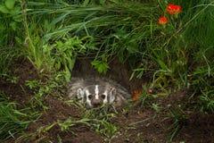 北美洲獾獾亚科类罗汗松怒视从小室的内部 库存图片