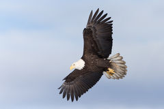 北美洲白头鹰腾飞 库存图片