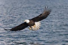 北美洲白头鹰腾飞 免版税库存照片