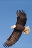 北美洲白头鹰腾飞 免版税库存图片