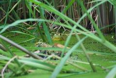 北美洲野生牛蛙 免版税库存照片