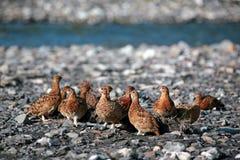 北美洲雷鸟 免版税库存照片