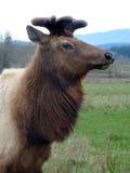 北美洲麋 免版税图库摄影