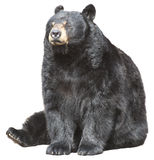 北美洲黑熊坐,查出的休眠 免版税图库摄影