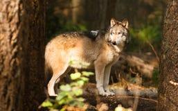 北美洲Timberwolf野生动物狼似犬食肉动物的阿尔法 免版税库存图片