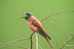 北胭脂红食蜂鸟 免版税库存照片