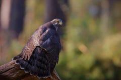 北苍鹰在森林里 免版税库存图片