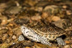 北菱纹背响尾蛇水龟 库存图片