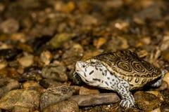 北菱纹背响尾蛇水龟 免版税库存照片