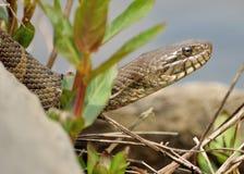 北蛇水 图库摄影