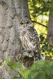 北被察觉的猫头鹰在树枝被伪装在绿色森林里 免版税图库摄影