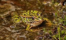 北豹子青蛙(Lithobates pipiens) 库存图片