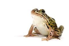 北豹子青蛙(Lithobates pipiens) 免版税库存图片