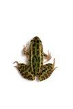 北豹子青蛙(Lithobates pipiens) 图库摄影