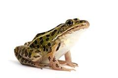 北豹子青蛙(Lithobates pipiens) 免版税图库摄影