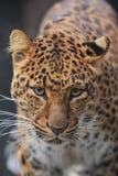 北部中国的豹子 免版税库存图片