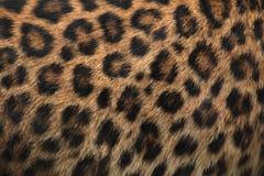 北部中国豹子(豹属pardus japonensis)毛皮纹理 免版税图库摄影