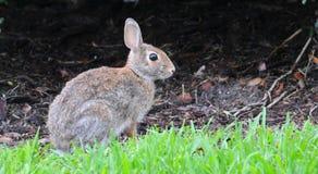 北部乔治亚东部棉尾巴兔子北美洲兔类obscurus 图库摄影