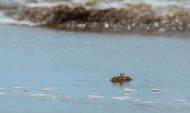 北部大西洋海滩卡罗来纳州螃蟹的鬼魂 图库摄影