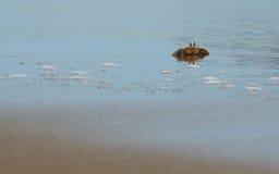 北部大西洋海滩卡罗来纳州螃蟹的鬼魂 免版税库存图片