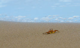 北部大西洋海滩卡罗来纳州螃蟹的鬼魂 免版税图库摄影