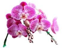 从北部泰国的兰花 库存图片