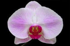 从北部泰国的兰花 库存照片