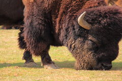 北部的北美野牛 免版税库存图片
