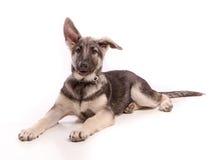 北部的Nanook, shiloh与懒散的耳朵的德国牧羊犬狗 免版税库存图片