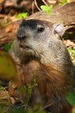 北部美国的土拨鼠 免版税库存图片