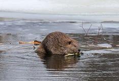 北部美国的海狸 库存图片