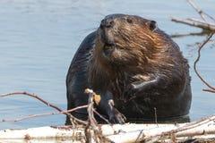 北部美国的海狸 免版税库存照片