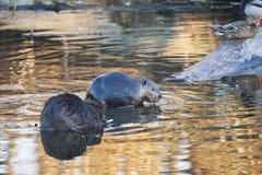 北部美国的海狸 库存照片