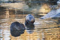 北部美国的海狸 图库摄影