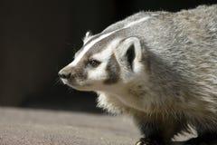 北部美国的獾 免版税库存图片