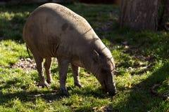 北部苏拉威西岛野猪 免版税库存图片