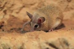 北部非洲沙鼠 库存图片