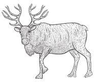 北部驯鹿北美驯鹿 免版税库存照片